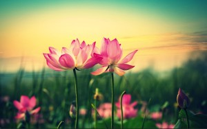 Lotus rose 2