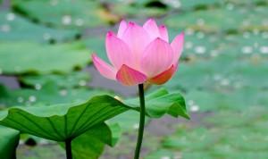 Lotus rose 5