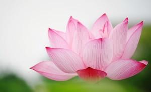Lotus rose 7