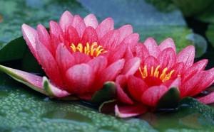 Lotus rose 9